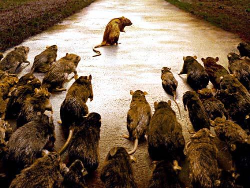 http://www.juergenknoll.de/ratten2/diashow_ratten2/images/Ratten01.jpg